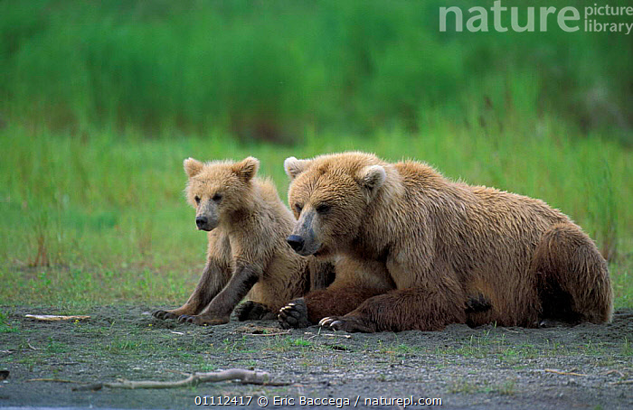 Grizzly bear with cub at river {Ursus arctos horribilis} Brooks river, Alaska, USA  ,  BABIES,BEARS,CARNIVORES,CUBS,FAMILIES,FAMILY,MAMMALS,NORTH AMERICA,RIVERS,TWO ,BROWN BEAR  ,  Eric Baccega