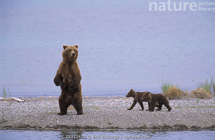 Grizzly bear mother on look out with small cubs {Ursus arctos horribilis} Brooks river,  ,  ALASKA,BABIES,BEARS,CARNIVORES,FAMILIES,FEMALE,LACTATING,MAMMALS,NORTH AMERICA,RIVERS,THREE,TWO,USA,YOUNG ,BROWN BEAR  ,  Eric Baccega