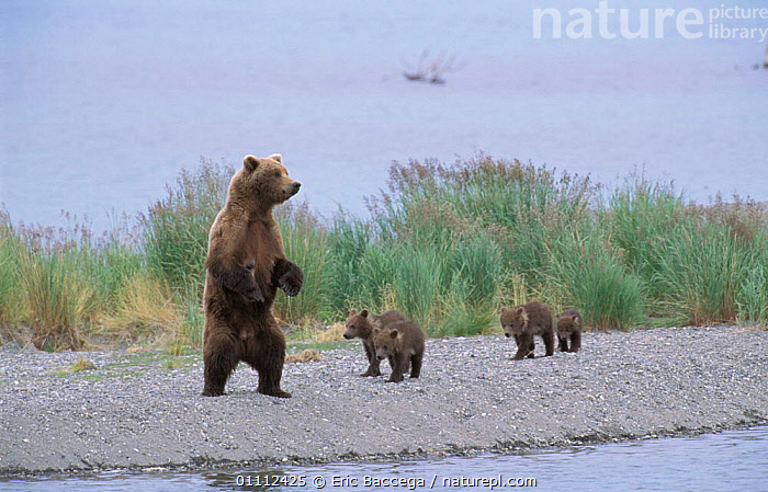 Grizzly bear female on look out with four young cubs {Ursus arctos horribilis} Alaska, US  ,  BABIES,BEARS,BROOKS,CARNIVORES,CUTE,MAMMALS,NORTH AMERICA,RIVER,RIVERS,STANDING,USA ,BROWN BEAR  ,  Eric Baccega