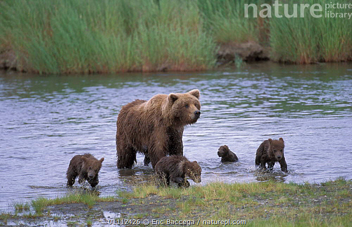 Grizzly bear mother + four young cubs in river {Ursus arctos horribilis} Alaska USA  ,  BABIES,BEARS,BROOKS,CARNIVORES,FAMILIES,FAMILY,FEMALE,MAMMALS,NORTH AMERICA,RIVERS ,BROWN BEAR  ,  Eric Baccega