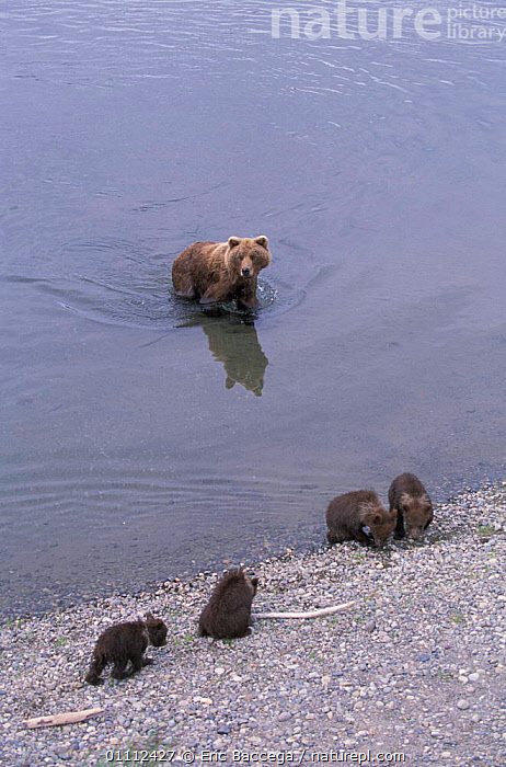Grizzly bear mother + four young cubs in river {Ursus arctos horribilis} Alaska USA  ,  BABIES,BEARS,BROOKS,CARNIVORES,FEMALE,MAMMALS,NORTH AMERICA,RIVERS ,BROWN BEAR  ,  Eric Baccega