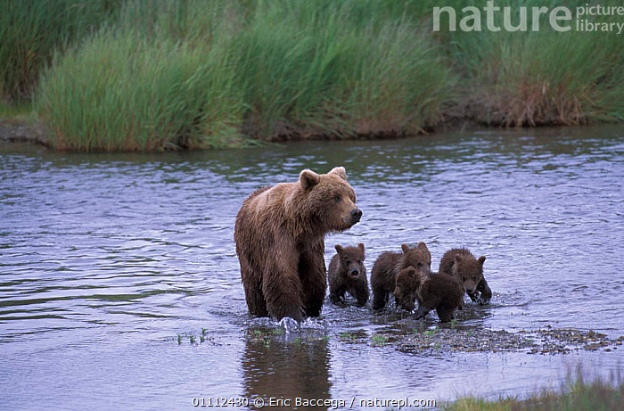 Grizzly bear female + four young cubs in river {Ursus arctos horribilis} Alaska USA  ,  BABIES,BEARS,BROOKS,CARNIVORES,MAMMALS,NORTH AMERICA,RIVERS ,BROWN BEAR  ,  Eric Baccega