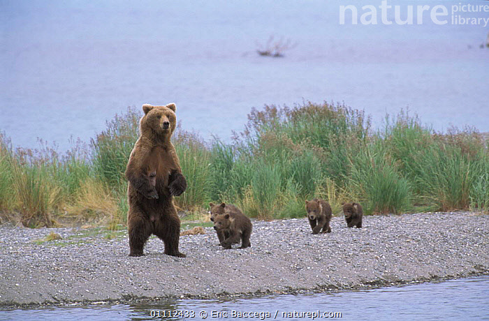 Grizzly bear mother on look out with four young cubs {Ursus arctos horribilis} Alaska, USA  ,  BABIES,BEARS,CARNIVORES,FEMALE,MAMMALS,NORTH AMERICA,RIVER,RIVERS,STANDING ,BROWN BEAR  ,  Eric Baccega