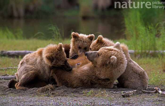 Grizzly bear {Ursus arctos horribilis} female lying on her back suckling three cubs, Brooks river, Alaska, USA  ,  BABIES,BEARS,CARNIVORES,FAMILIES,FEEDING,HUMOROUS,MAMMALS,MOTHER,MOTHER BABY,PARENTAL BEHAVIOUR,USA,VERTEBRATES,Concepts,North America  ,  Eric Baccega