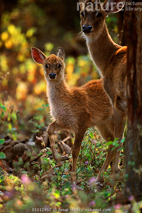 Eld's deer female with young {Cervus eldi} Manipur, India  ,  ARTIODACTYLA,AS,ASIA,BABIES,ENDANGERED,FAMILIES,FAMILY,FEMALES,INDIA,INDIAN SUBCONTINENT,MAMMALS  ,  Anup Shah