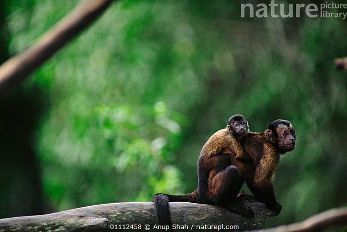 Brown capped capuchin monkey carrying young on back {Cebus apella} Captive  ,  AS,BABIES,CUTE,FAMILIES,HORIZONTAL,MAMMALS,MONKEYS,PRIMATES  ,  Anup Shah