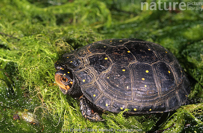 Spotted turtle (Clemmys guttata) in pond, USA, vulnerable species  ,  AQUATIC,CHELONIA,ENDANGERED,FRESHWATER,NORTH AMERICA,PLANTS,POND TURTLES,REPTILES,SPOTS,USA,VERTEBRATES,WETLANDS,Turtles  ,  Barry Mansell