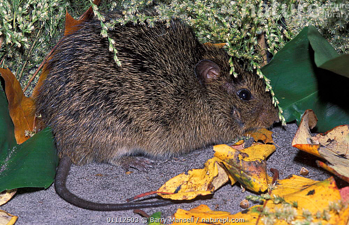 Hispid cotton rat {Sigmodon hispidus} US  ,  MAMMALS,NORTH AMERICA,PEST,PESTS,RODENT,RODENTS,USA,MURIDAE  ,  Barry Mansell