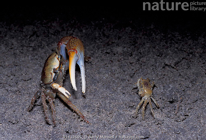 Fiddler crab {Uca sp} male displaying to female, Florida, U  ,  BEHAVIOUR,CLAWS,CRUSTACEANS,DIFFERENCE,DISPLAY,INVERTEBRATES,MALE FEMALE PAIR,MATING BEHAVIOUR,NIGHT,PAIR,SIZE,USA,NORTH AMERICA,REPRODUCTION,COMMUNICATION  ,  Barry Mansell