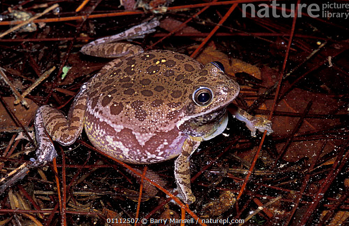 Barking tree frog, turns brown in pond {Hyla gratiosa} Florida, USA  ,  AMPHIBIANS,CAMOUFLAGE,COLOUR CHANGES,FRESHWATER,NORTH AMERICA,PONDS,TREEFROG,TREEFROGS,ANURA,FROGS  ,  Barry Mansell