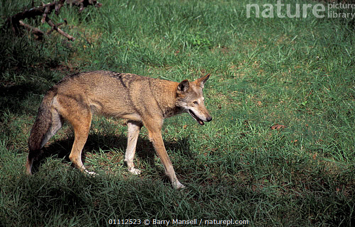 Red wolf, Endangered {Canis rufus} captive Tennessee, USA  ,  CARNIVORE,CARNIVORES,MAMMAL,MAMMALS,NORTH AMERICA,WOLVES,DOGS,CANIDS  ,  Barry Mansell