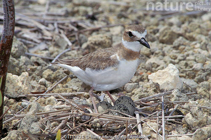 Wilson's plover at nest with eggs {Charadrius wilsonia} Key Largo, Florida, USA  ,  THREE,CAMOUFLAGE,NORTH AMERICA,WILSON,BIRD,BIRDS,NESTS,NORTH AMERICA,PLOVERS,GROUND,WADERS  ,  Barry Mansell