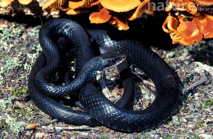 Southern black racer snake {Coluber constrictor priapus}  ,  NORTH AMERICA,REPTILE,REPTILES,SNAKES  ,  Barry Mansell