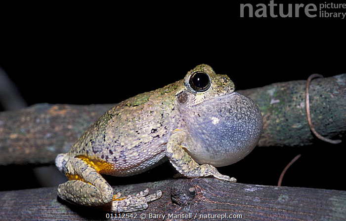 Grey treefrog vocal sac inflated {Hyla versicolor} Florida, USA  ,  AMPHIBIANS,BEHAVIOUR,MALES,MATING BEHAVIOUR,NORTH AMERICA,VOCALISATION,REPRODUCTION,ANURA,FROGS  ,  Barry Mansell