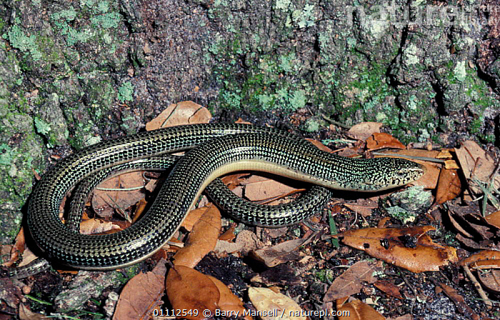 Eastern glass lizard {Ophisaurus ventralis} Florida, US  ,  NORTH AMERICA,REPTILE,REPTILES,USA,LIZARDS  ,  Barry Mansell