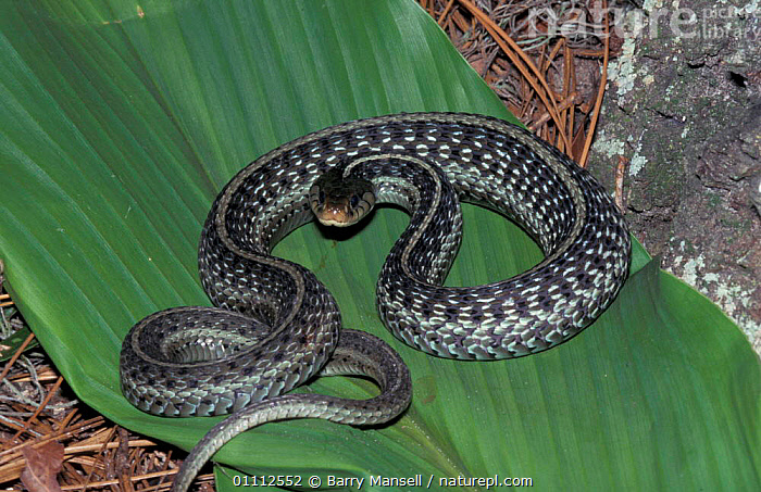 Eastern garter snake {Thamnophis sirtalis sirtalis} Florida, US  ,  NORTH AMERICA,REPTILE,REPTILES,SNAKES,USA  ,  Barry Mansell
