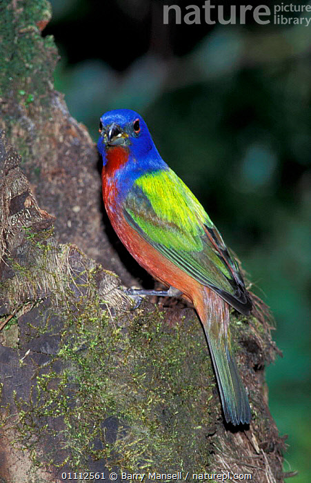 Painted bunting male {Passerina ciris} Florida, USA  ,  COLOURFUL,BIRDS,MALES,BIRD,BUNTINGS,North America  ,  Barry Mansell