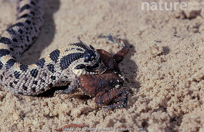 Southern hognose snake eating toad {Heterodon simus} USA Note toad puffed up in defense  ,  AMPHIBIAN,AMPHIBIANS,FEEDING,PREDATION,REPTILE,REPTILES,SNAKES,BEHAVIOUR  ,  Barry Mansell