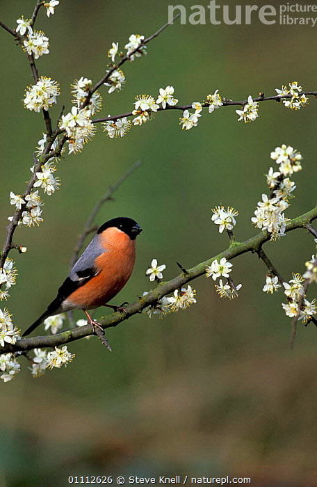 Bullfinch on blackthorn blossom, UK.  ,  AVES,BIRD,BIRDS,BRITAIN,BRITISH,ENGLAND,EUROPE,FINCHES,FLOWERS,ONE,PASSERINES,PERCHED,PERCHING,RESTING,SPRING,UK,UNITED KINGDOM  ,  Steve Knell