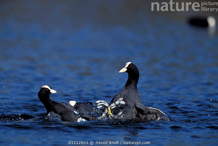 Coots fighting {Fulica atra} UK  ,  AGGRESSION,BIRDS,ENGLAND,EUROPE,MALES,WATERFOWL,CONCEPTS  ,  Steve Knell