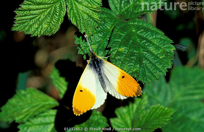Orange tip butterfly, male {Anthocharis cardamines} UK  ,  BRITISH,BUTTERFLIES,ENGLAND,EUROPE,INSECTS,INVERTEBRATES,LEPIDOPTERA,MALES  ,  Steve Knell