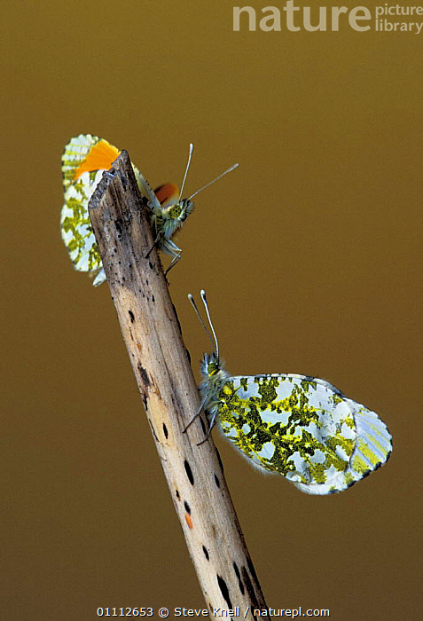 Two Orange tip butterflies {Anthocharis cardamines} UK  ,  BRITISH,COUPLE,ENGLAND,EUROPE,INSECTS,INVERTEBRATES,LEPIDOPTERA,MALE FEMALE PAIR,MALES,PAIR  ,  STEVE KNELL
