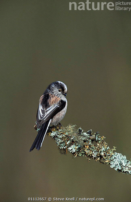 Long tailed tit perched {Aegithalos caudatus} UK  ,  BIRD,BIRDS,ENGLAND,EUROPE,LICHENS,TITS,PLANTS  ,  Steve Knell