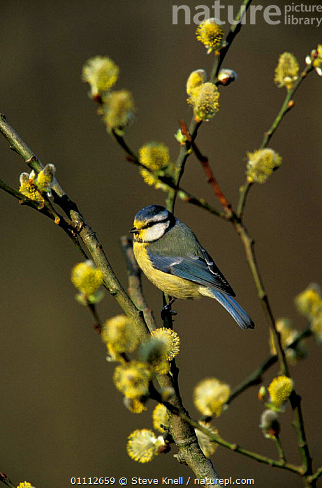 Blue tit {Parus caeruleus} with willow pollen on head. UK  ,  BIRD,BIRDS,ENGLAND,EUROPE,HEAD,POLLINATION,PUSSY,SPRING,TITS  ,  STEVE KNELL