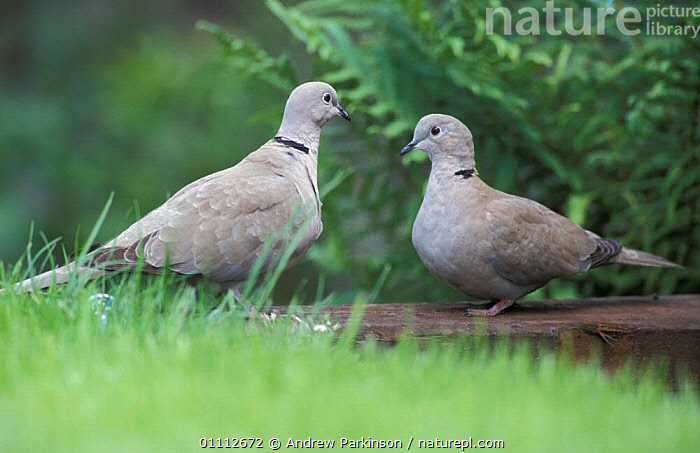 Collared dove pair courtship {Streptopelia decaocto} Crich, Derbyshire, UK  ,  BEHAVIOUR,BIRDS,DOVES,ENGLAND,EUROPE,GARDENS,MALE FEMALE PAIR,MATING BEHAVIOUR,TWO,REPRODUCTION  ,  Andrew Parkinson