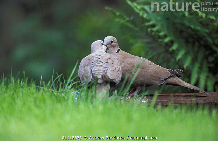 Collared dove pair courtship {Streptopelia decaocto} Crich, Derbyshire, UK  ,  BEHAVIOUR,BIRDS,COUPLE,DOVES,ENGLAND,EUROPE,GARDENS,MALE FEMALE PAIR,MATING BEHAVIOUR,TWO,REPRODUCTION  ,  Andrew Parkinson