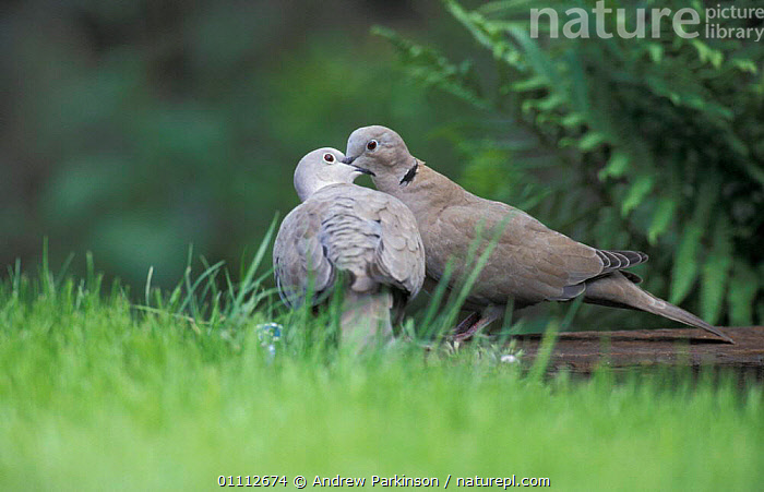 Collared dove pair courtship {Streptopelia decaocto} Crich, Derbyshire, UK  ,  BEHAVIOUR,BIRD,BIRDS,DOVES,ENGLAND,EUROPE,GARDENS,MALE FEMALE PAIR,MATING BEHAVIOUR,TWO,REPRODUCTION  ,  Andrew Parkinson