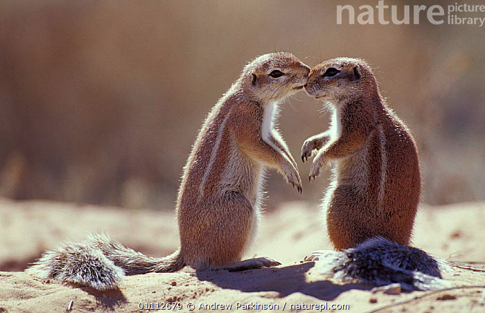 Cape ground squirrel 'kissing' {Xerus inauris} Kgalagadi TP, South Africa  ,  AFFECTION,BEHAVIOUR,COMMUNICATION,FRIENDSHIP,MAMMALS,RODENTS,SOCIAL BEHAVIOUR,SOUTHERN AFRICA,SQUIRRELS,TWO,CONCEPTS  ,  Andrew Parkinson
