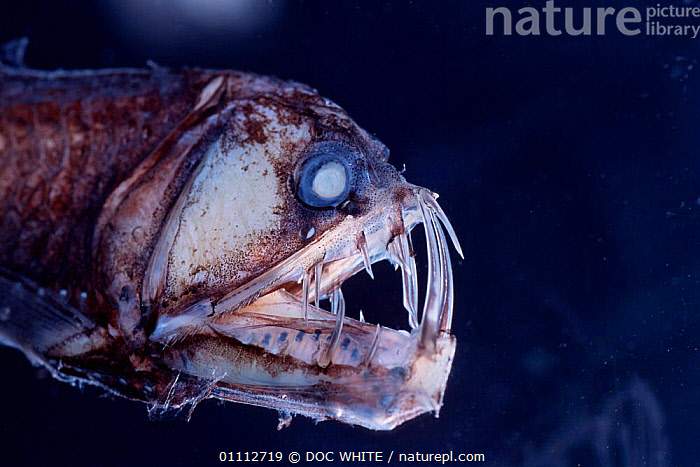 Viperfish {Chauliodus sloani} - deep sea specimen from Galapagos Pacific  ,  DEEPSEA,DWH,FISH,GALAPAGOS,MARINE,PACIFIC,SPECIMEN  ,  DOC WHITE