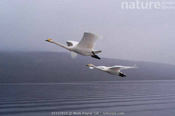 Imprinted Whooper swans following their owners on Loch Lommond, Scotland, UK, during filming for BBC NHU 'Journey of Life'  ,  BIRDS,DCA,EUROPE,FLYING,MPG,SCOTLAND,SWANS,TWO,UK,WATER,WATERFOWL,WHITE,UNITED KINGDOM,BRITISH,WILDFOWL, Waterfowl  ,  Mark Payne-Gill