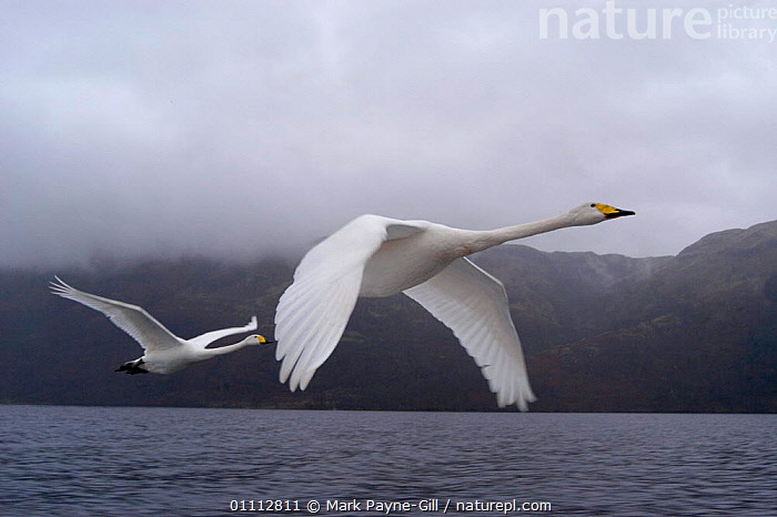 Imprinted Whooper swans following their owners on Loch Lommond, Scotland, UK, during filming for BBC NHU 'Journey of Life'  ,  BIRDS,EUROPE,FLYING,MARK,MPG,SCOTLAND,SWANS,TWO,UK,WATER,WATERFOWL,WHITE,UNITED KINGDOM,BRITISH,WILDFOWL, Waterfowl  ,  Mark Payne-Gill