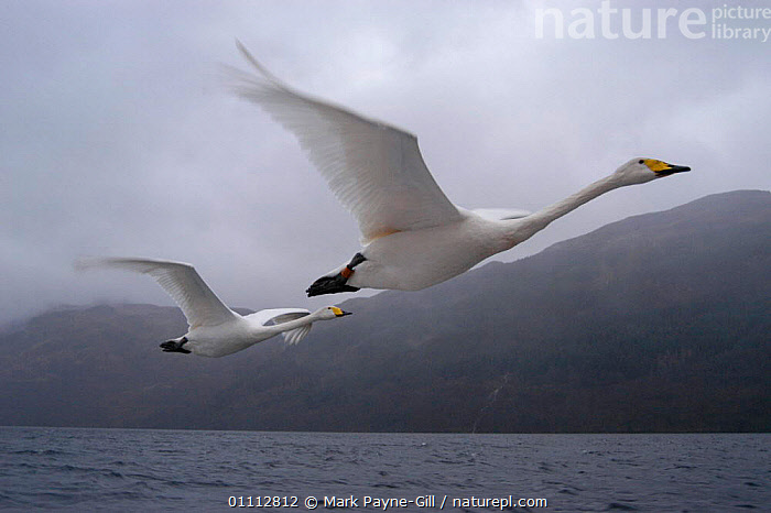 Imprinted Whooper swans fly after their owners on Loch Lommond, Scotland, UK , during filming for BBC NHU 'Journey of Life'  ,  BIRDS,DCA,EUROPE,FLYING,MARK,MPG,SCOTLAND,SWANS,TWO,UK,WATER,WATERFOWL,UNITED KINGDOM,BRITISH,WILDFOWL, Waterfowl  ,  Mark Payne-Gill