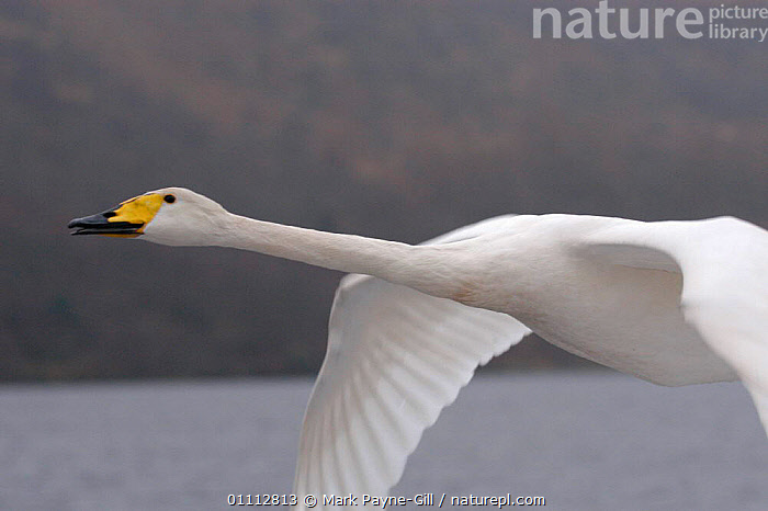 Imprinted Whooper swan flies after its owners on Loch Lommond, Scotland, UK, during filming for BBC NHU 'Journey of Life'  ,  BBC,BIRDS,CLOSE UPS,DCA,EUROPE,FLYING,FOLLOWING,MPG,NHU,SCOTLAND,SWANS,UK,WATER,WHITE,UNITED KINGDOM,BRITISH,WILDFOWL,Waterfowl, Waterfowl  ,  Mark Payne-Gill