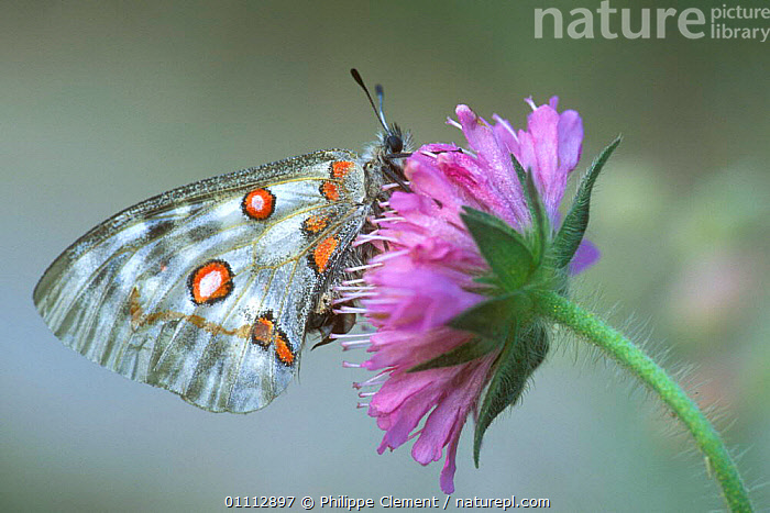 Apollo butterfly {Parnassius apollo} on Devil's bit scabious flower. Gran Paradiso NP, Alps, Italy  ,  ALPINE,EUROPE,FEEDING,FLOWERS,HORIZONTAL,INSECTS,INVERTEBRATES,ITALY,LEPIDOPTERA,NP,PCL,NATIONAL PARK  ,  Philippe Clement