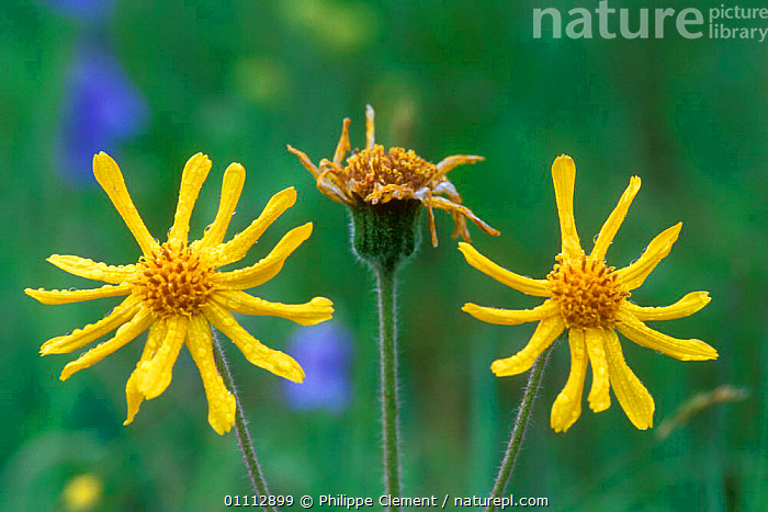 Arnica flowers {Arnica montana} Gran Paradiso NP, Alps, Italy  ,  ALPINE,FLOWERS,HORIZONTAL,ITALY,MEDICINE,NP,PCL,PLANTS,YELLOW,EUROPE,NATIONAL PARK  ,  Philippe Clement