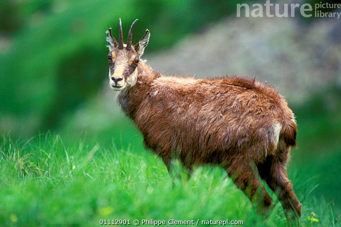 Chamois {Rupicapra rupicapra} Gran Paradiso NP, Alps, Italy  ,  ALPINE,ARTIODACTYLA,EUROPE,HORIZONTAL,ITALY,MAMMALS,NP,PCL,RESERVE,NATIONAL PARK  ,  Philippe Clement