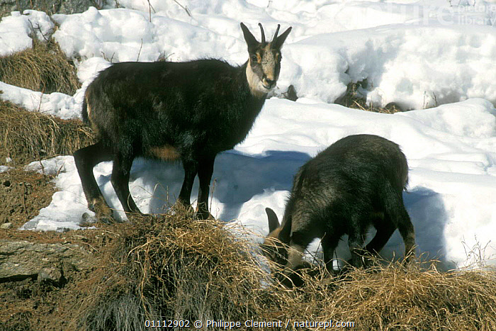 Chamois looking for food in snow {Rupicapra rupicapra} Gran Paradiso NP, Alps, Italy  ,  ALPINE,ARTIODACTYLA,EUROPE,FEEDING,HORIZONTAL,ITALY,MAMMALS,NP,PCL,RESERVE,SNOW,TWO,NATIONAL PARK  ,  Philippe Clement