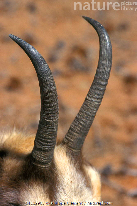 Chamois, close-up of horns {Rupicapra rupicapra} Gran Paradiso NP, Alps, Italy  ,  ALPINE,ARTIODACTYLA,CLOSE UPS,EUROPE,HORNS,ITALY,MAMMALS,NP,PCL,RESERVE,VERTICAL,NATIONAL PARK  ,  Philippe Clement