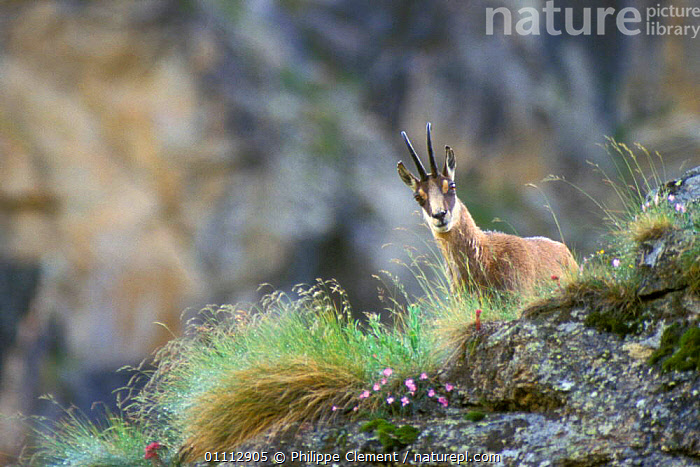 Chamois in Alps {Rupicapra rupicapra} Gran Paradiso NP, Alps, Italy  ,  ALPINE,ARTIODACTYLA,EUROPE,HABITAT,HORIZONTAL,ITALY,LANDSCAPES,MAMMALS,NP,PCL,RESERVE,NATIONAL PARK  ,  Philippe Clement