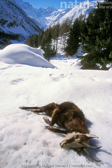 Dead Chamois in snow {Rupicapra rupicapra} Gran Paradiso NP, Alps, Italy  ,  ALPINE,ARTIODACTYLA,DEATH,EUROPE,ITALY,MAMMALS,NP,PCL,RESERVE,SNOW,VERTICAL,NATIONAL PARK  ,  Philippe Clement