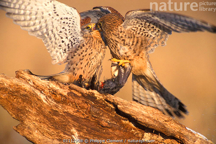 Two Kestrels {Falco tinnunculus} fighting over dead Blackbird. Belgium  ,  ACTION,AGGRESSION,BEHAVIOUR,BELGIUM,,BIRDS,DIG,EUROPE,FEEDING,FIGHTING,FOOD,HORIZONTAL,KESTRELS,PCL,PREDATION,TWO ,BIRDS OF PREY,CONCEPTS,FALCONS  ,  Philippe Clement