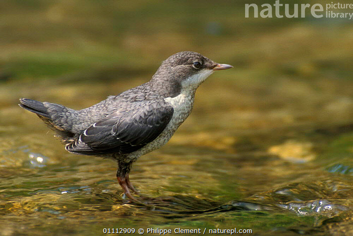 Young Dipper in stream {Cinclus cinclus} Europe  ,  BIRDS,EUROPE,HORIZONTAL,JUVENILE,PCL,PORTRAITS,STREAM,WATER,YOUNG  ,  Philippe Clement