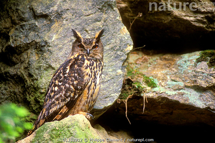 Eagle owl {Bubo bubo} Bayerischer Wald NP, Germany  ,  ,BIRDS,CAPTIVE,EUROPE,GERMANY,HORIZONTAL,NP,OWLS,PCL,RESERVE,VERTICAL ,BIRDS OF PREY,NATIONAL PARK,RAPTOR,EAGLES  ,  Philippe Clement