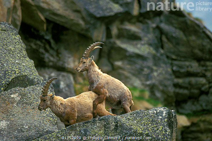 Young ibex mounting each other {Capra ibex ibex} Gran Paradiso NP, Alps, Italy  ,  ALPINE,ARTIODACTYLA,BEHAVIOUR,EUROPE,HORIZONTAL,ITALY,JUVENILE,MAMMALS,MATING BEHAVIOUR,NP,PCL,REPRODUCTION,NATIONAL PARK,GOATS,ANTELOPES  ,  Philippe Clement