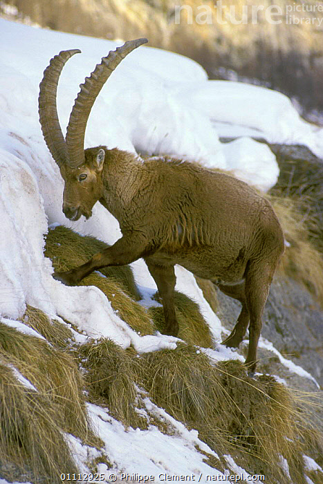 Ibex searching for food in snow {Capra ibex ibex} Gran Paradiso NP, Alps, Italy  ,  ALPINE,ALPS,ARTIODACTYLA,EUROPE,FEEDING,ITALY,MAMMALS,NP,PCL,PHILIPPE,VERTICAL,NATIONAL PARK,GOATS,ANTELOPES  ,  Philippe Clement