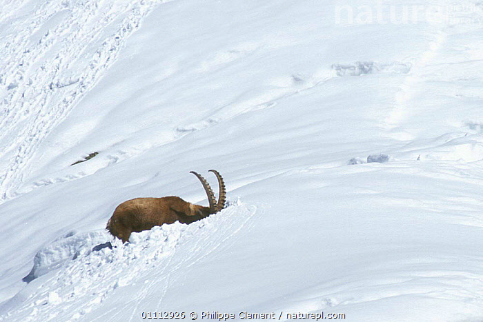 Ibex searching for food in deep snow {Capra ibex ibex} Gran Paradiso NP, Alps, Italy  ,  ALPINE,ALPS,ANTELOPES,ARTIODACTYLA,BEHAVIOUR,EUROPE,FEEDING,GOATS,HABITAT,HORIZONTAL,ITALY,LANDSCAPES,MAMMALS,NATIONAL PARK,NP,PCL,SNOW,SURVIVAL  ,  Philippe Clement